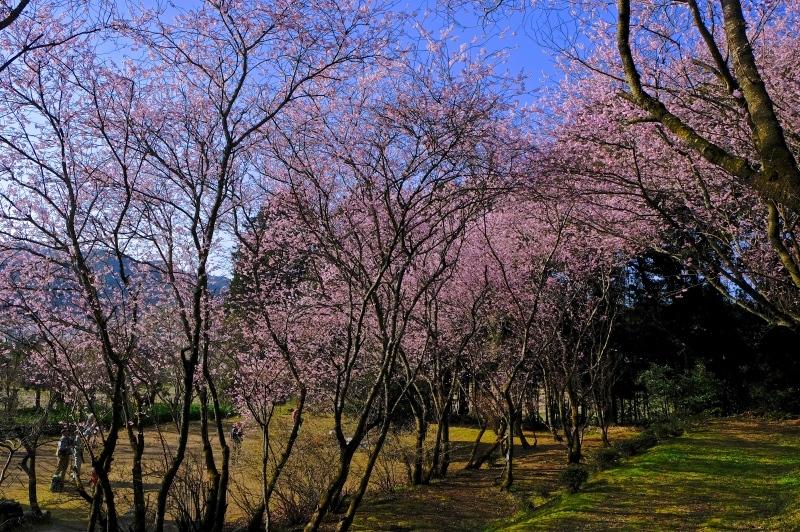 初御代桜(ハツミヨザクラ)_f0315034_14404921.jpg