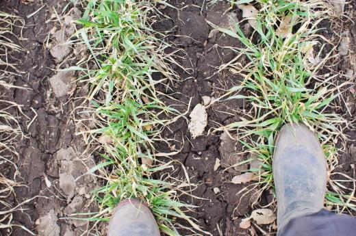 越冬後のニンニクと、麦踏み。_c0110869_09571832.jpg