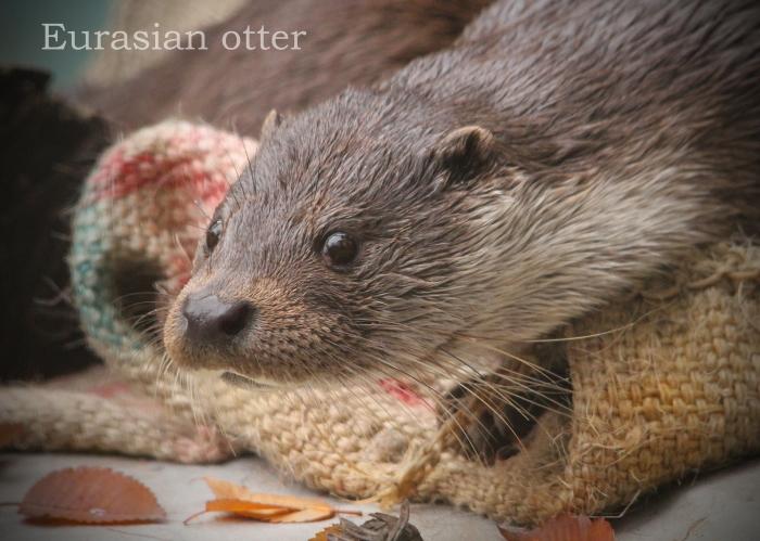 ユーラシアカワウソ:Eurasian Otter_b0249597_09150990.jpg