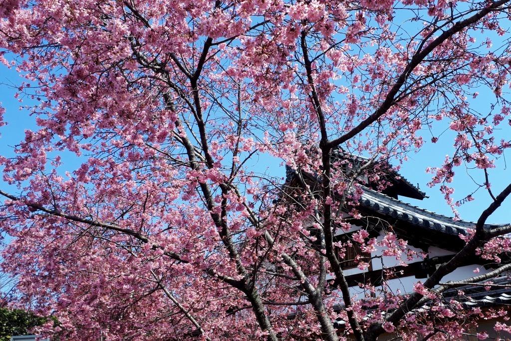 【京都】長徳寺のお亀桜_c0348200_23174266.jpg