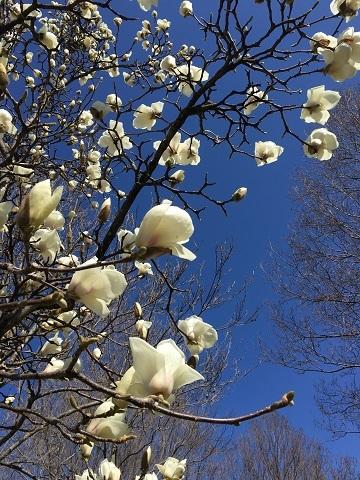 白木蓮が咲き始めました!_b0100229_12292646.jpg