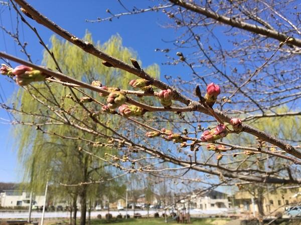 白木蓮が咲き始めました!_b0100229_12302880.jpg