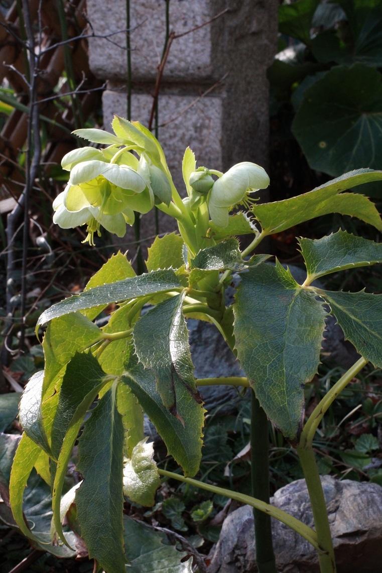 有茎種は寒さに弱い ~アグティフォリウス~_a0107574_21245803.jpg