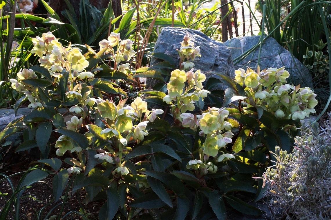 有茎種は寒さに弱い ~アグティフォリウス~_a0107574_21385420.jpg