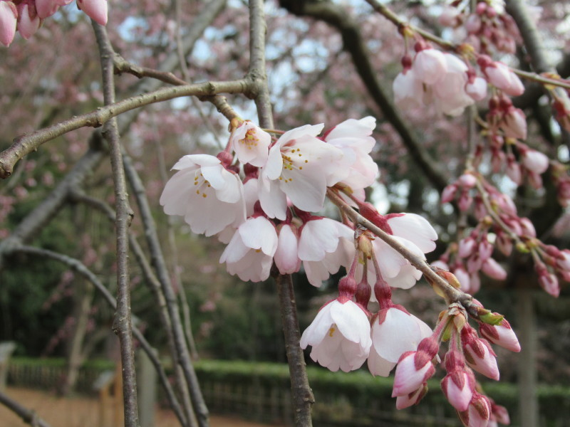 糸しだれ桜が咲き始めた 京都御苑_e0048413_21291945.jpg