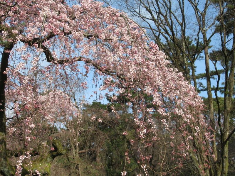 糸しだれ桜が咲き始めた 京都御苑_e0048413_21293371.jpg