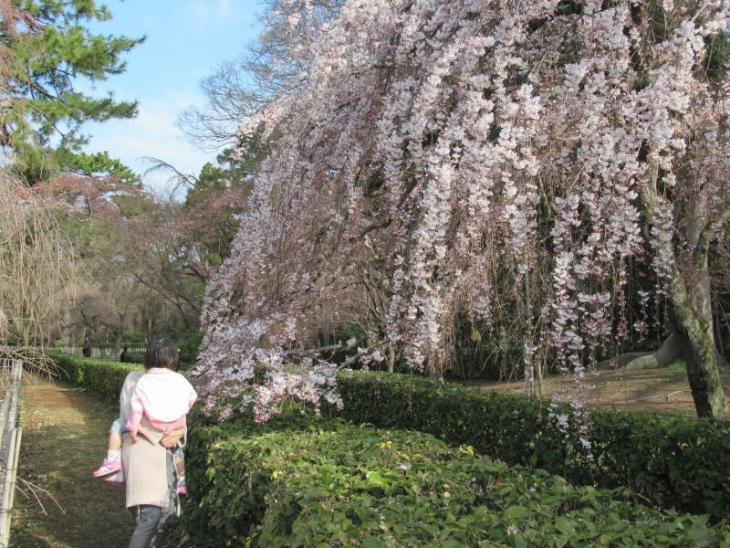 糸しだれ桜が咲き始めた 京都御苑_e0048413_21294846.jpg