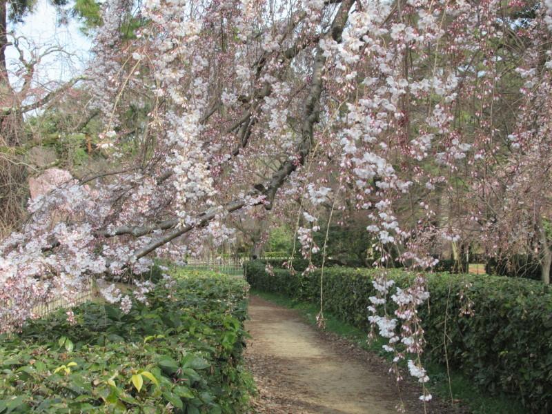 糸しだれ桜が咲き始めた 京都御苑_e0048413_21295867.jpg
