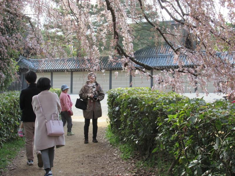 糸しだれ桜が咲き始めた 京都御苑_e0048413_21300859.jpg