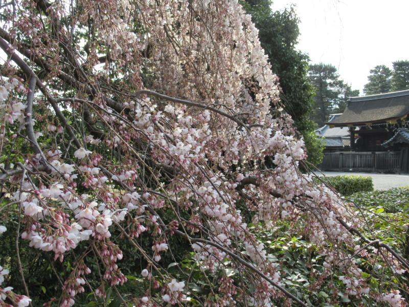 糸しだれ桜が咲き始めた 京都御苑_e0048413_21302362.jpg