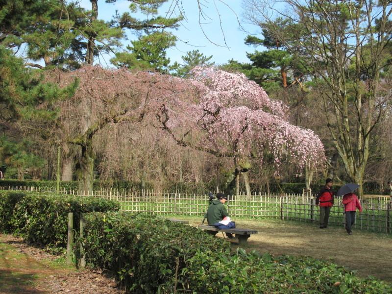 糸しだれ桜が咲き始めた 京都御苑_e0048413_21303508.jpg
