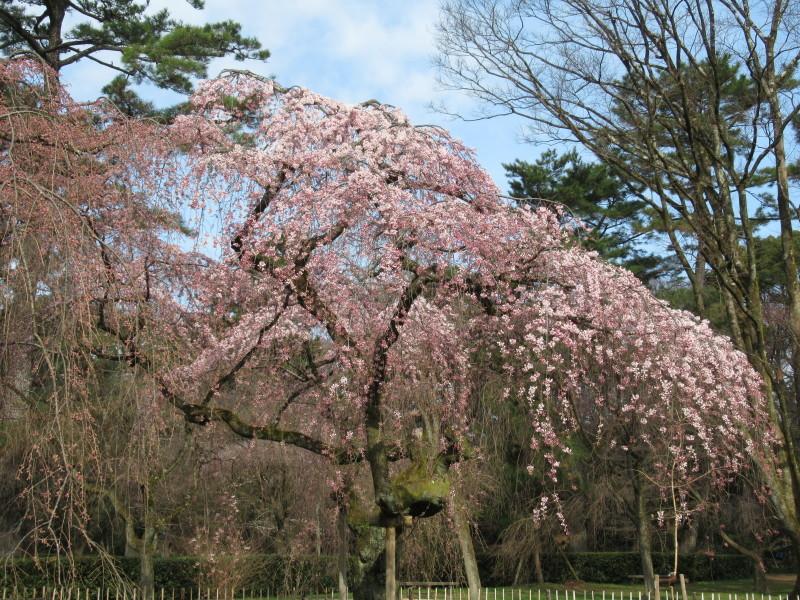 糸しだれ桜が咲き始めた 京都御苑_e0048413_21304583.jpg