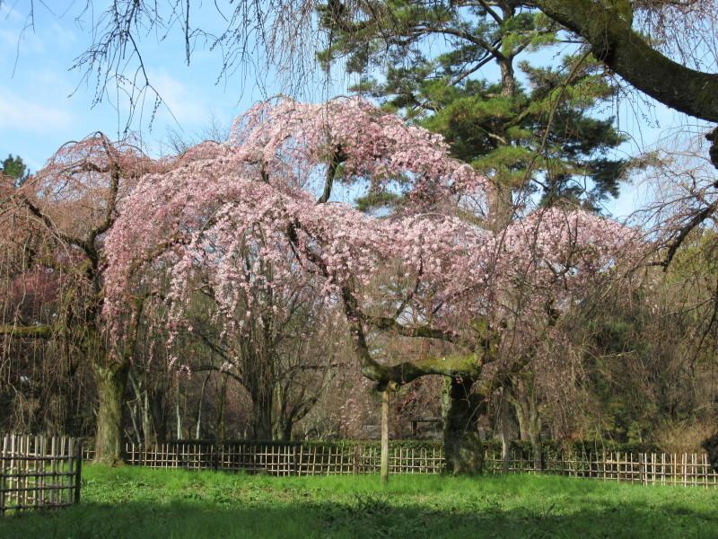 糸しだれ桜が咲き始めた 京都御苑_e0048413_21305475.jpg