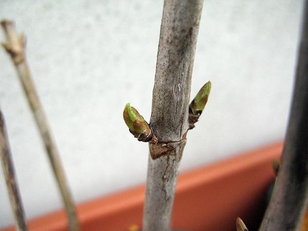 挿し木のアナベル_f0129726_18142438.jpg
