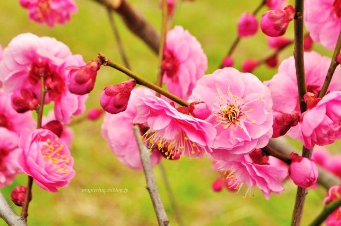 福岡/谷川梅林/3万本の梅の丘_f0234062_22052464.jpg