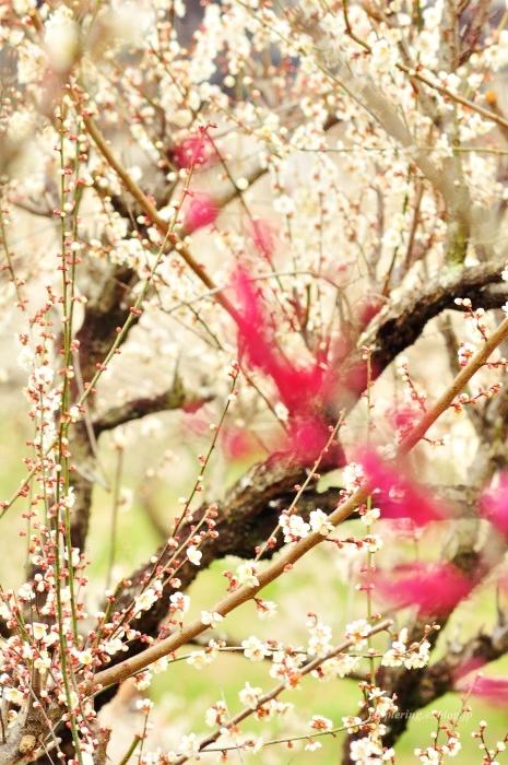 福岡/谷川梅林/3万本の梅の丘_f0234062_22053223.jpg