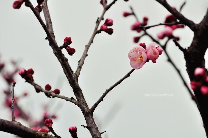 福岡/谷川梅林/3万本の梅の丘_f0234062_22053998.jpg