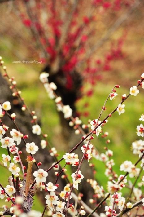 福岡/谷川梅林/3万本の梅の丘_f0234062_22055557.jpg