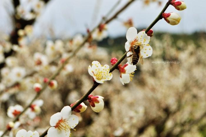 福岡/谷川梅林/3万本の梅の丘_f0234062_22060204.jpg