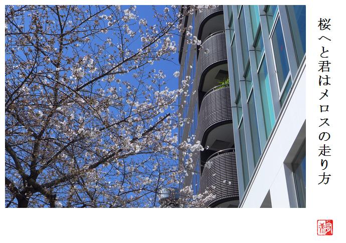 桜へと君はメロスの走り方_a0248481_08064181.jpg