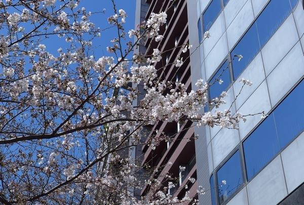 桜へと君はメロスの走り方_a0248481_08115630.jpg