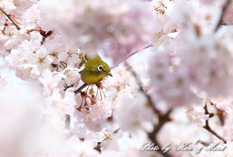 桜祭り~開催♪「メジロ」「コゲラ」「エナガ」「シジュウカラ」さん達♪_e0218518_21092395.jpg