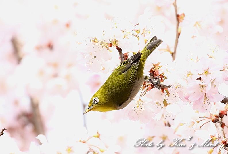 桜祭り~開催♪「メジロ」「コゲラ」「エナガ」「シジュウカラ」さん達♪_e0218518_21094334.jpg