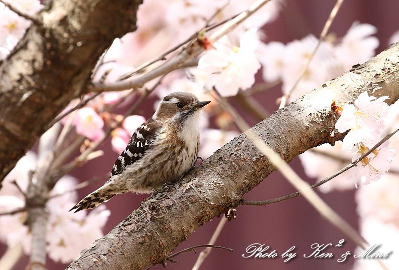 桜祭り~開催♪「メジロ」「コゲラ」「エナガ」「シジュウカラ」さん達♪_e0218518_21101927.jpg