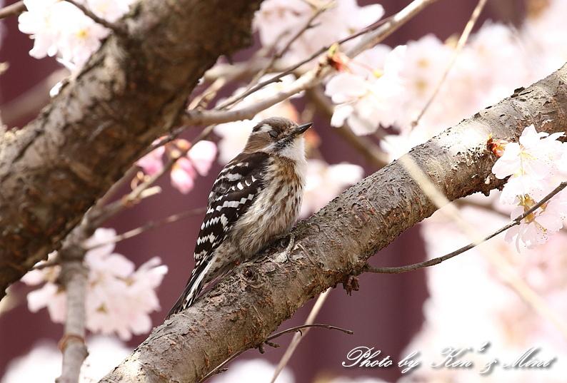 桜祭り~開催♪「メジロ」「コゲラ」「エナガ」「シジュウカラ」さん達♪_e0218518_21103261.jpg