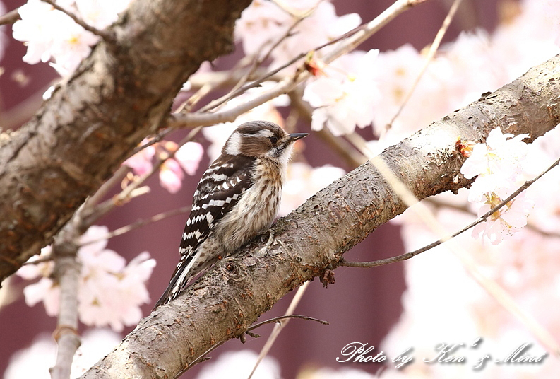 桜祭り~開催♪「メジロ」「コゲラ」「エナガ」「シジュウカラ」さん達♪_e0218518_21104732.jpg
