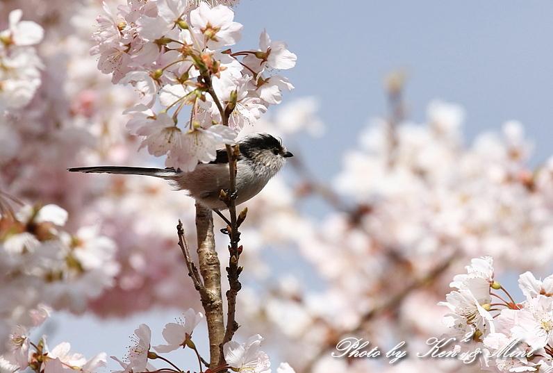 桜祭り~開催♪「メジロ」「コゲラ」「エナガ」「シジュウカラ」さん達♪_e0218518_21112277.jpg