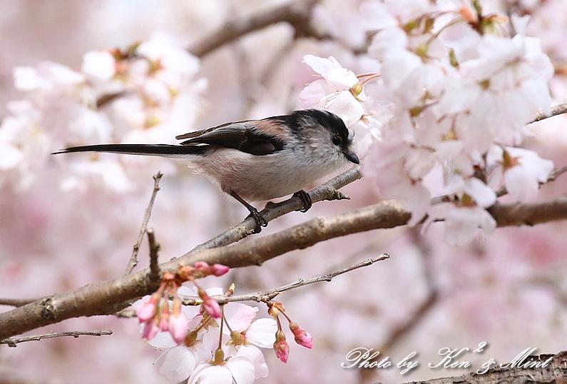 桜祭り~開催♪「メジロ」「コゲラ」「エナガ」「シジュウカラ」さん達♪_e0218518_21113612.jpg