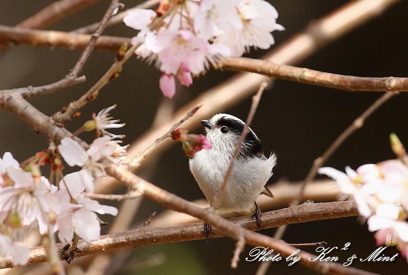 桜祭り~開催♪「メジロ」「コゲラ」「エナガ」「シジュウカラ」さん達♪_e0218518_21115288.jpg
