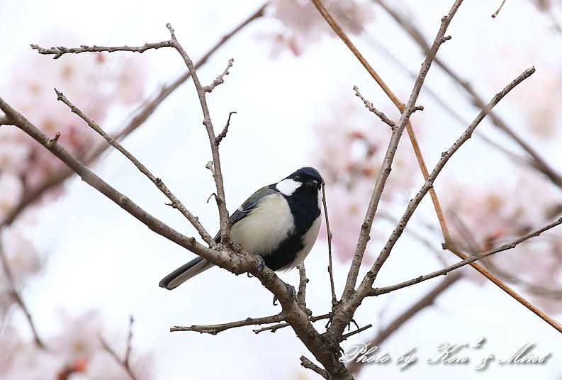桜祭り~開催♪「メジロ」「コゲラ」「エナガ」「シジュウカラ」さん達♪_e0218518_21121202.jpg