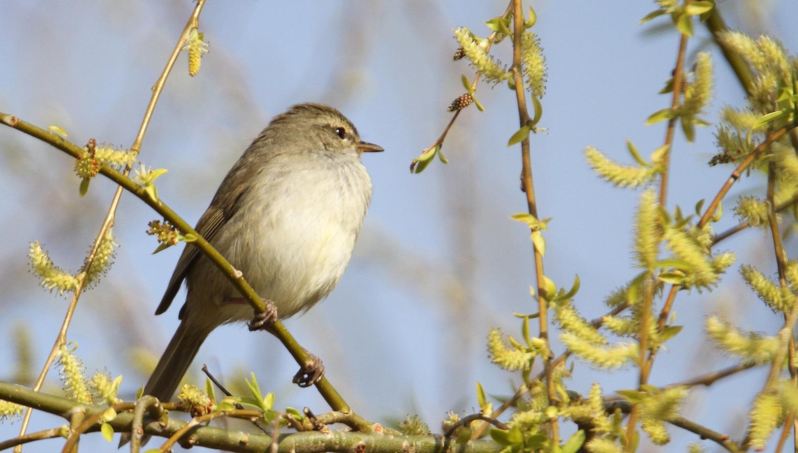 春告鳥:ウグイス_f0364220_08554620.jpg