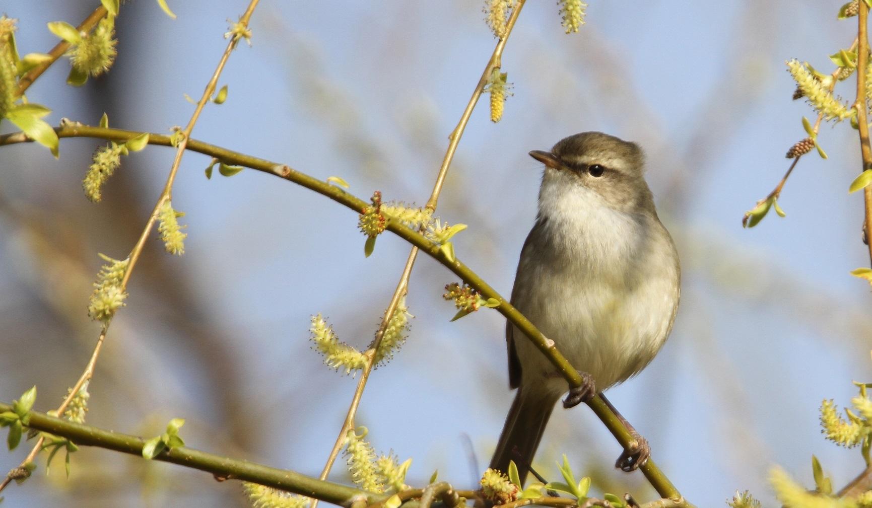 春告鳥:ウグイス_f0364220_08560257.jpg