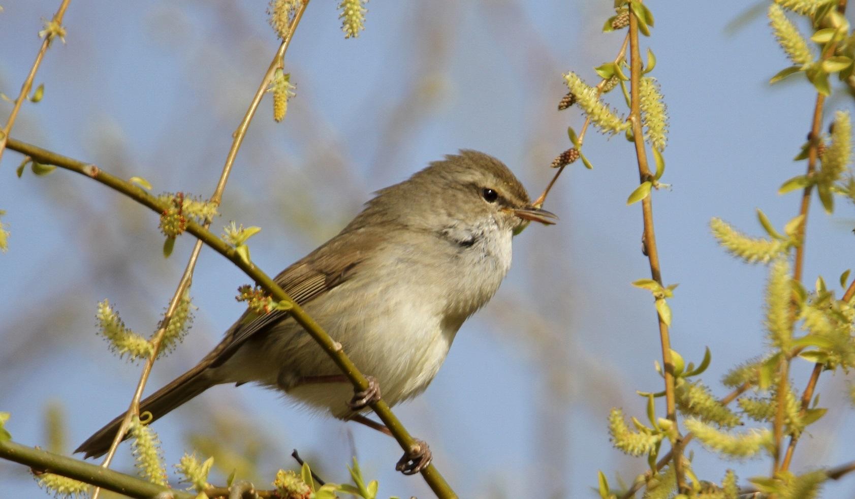 春告鳥:ウグイス_f0364220_08561965.jpg