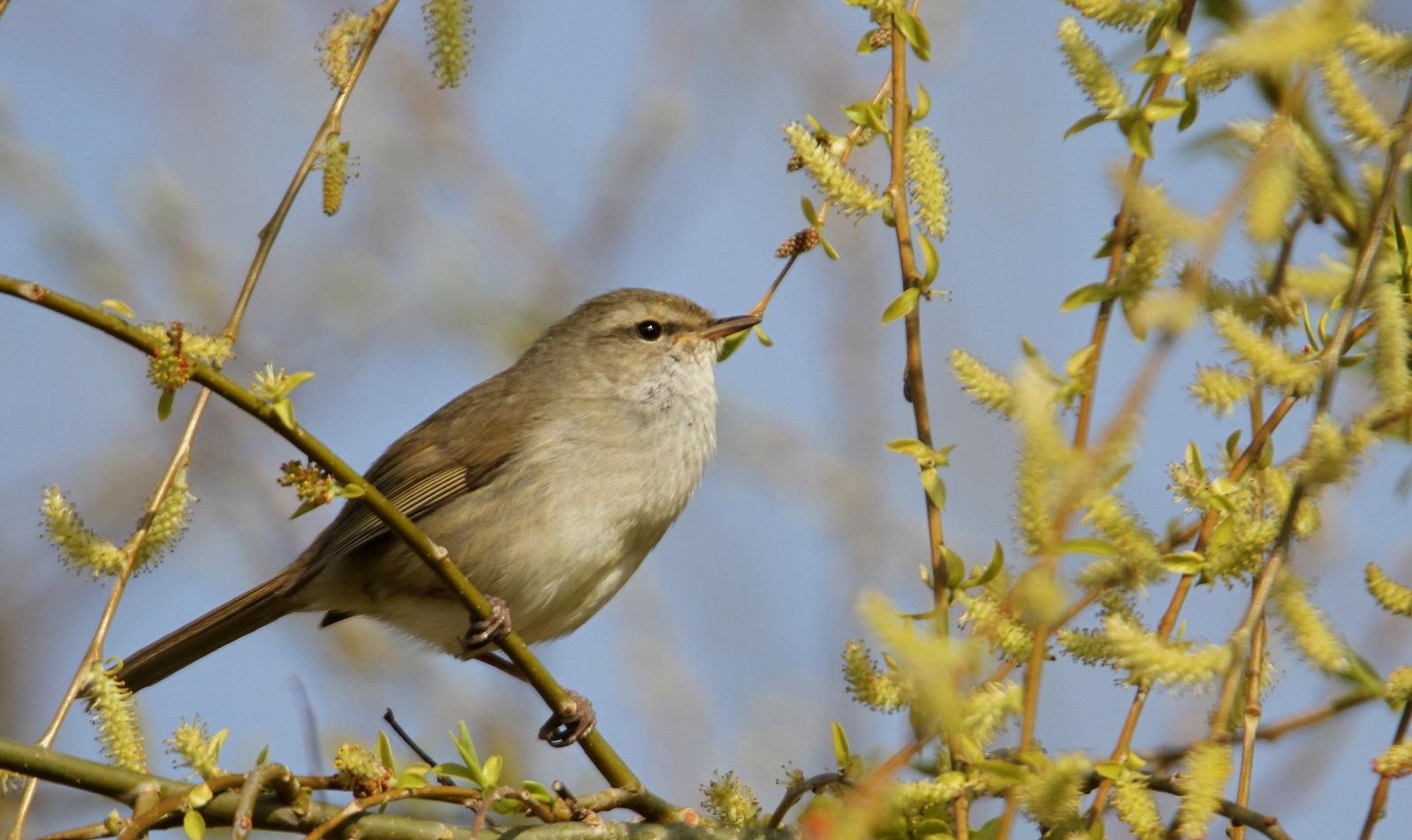 春告鳥:ウグイス_f0364220_08563694.jpg