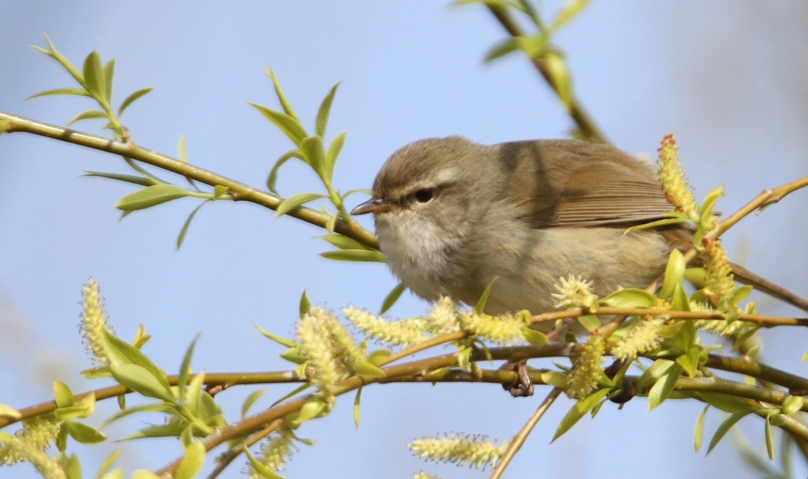 春告鳥:ウグイス_f0364220_08565553.jpg