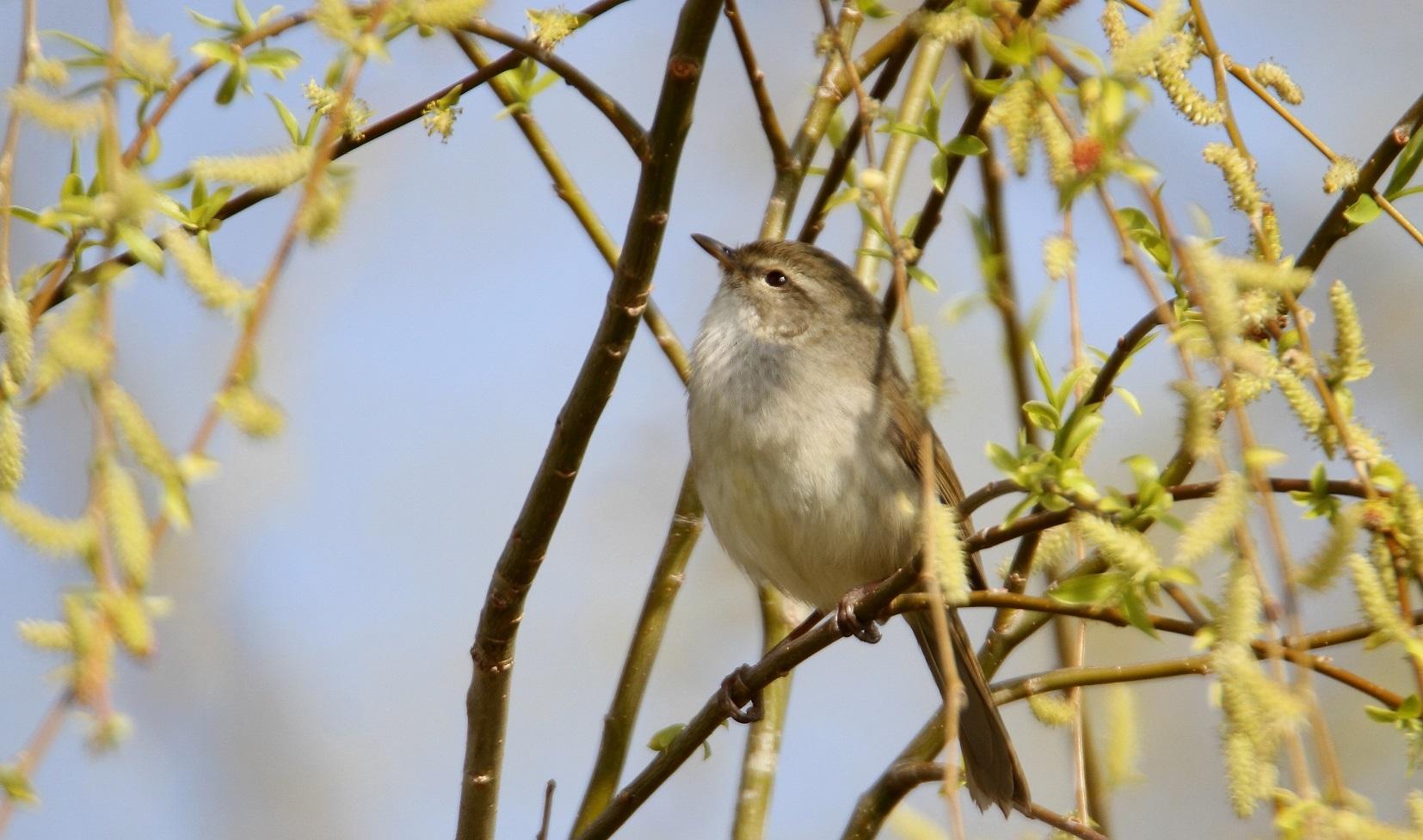 春告鳥:ウグイス_f0364220_08571239.jpg