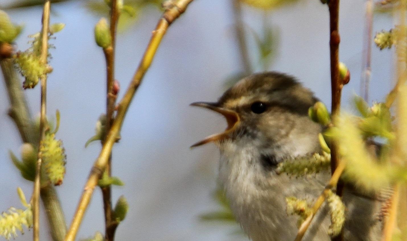 春告鳥:ウグイス_f0364220_08572880.jpg