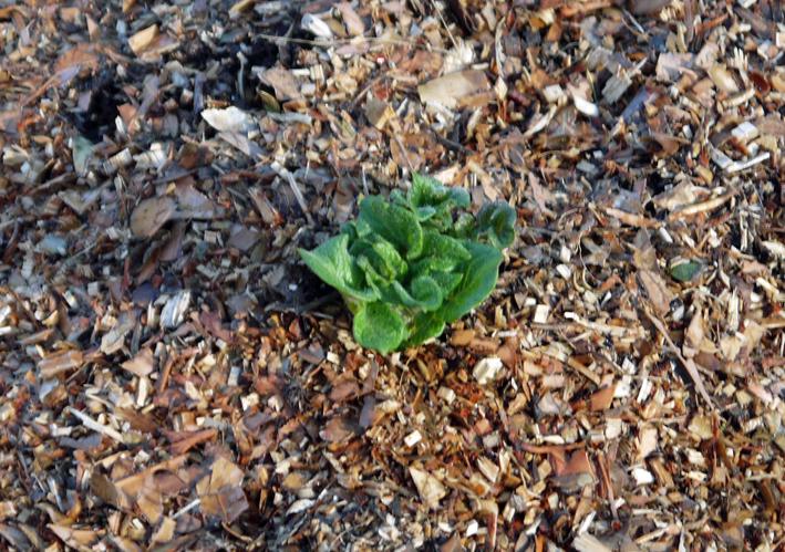 剪定した枝葉のチップがジャガイモの霜害防止3・17_c0014967_935317.jpg