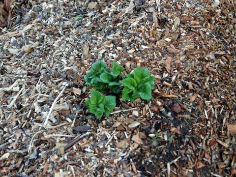 剪定した枝葉のチップがジャガイモの霜害防止3・17_c0014967_942942.jpg