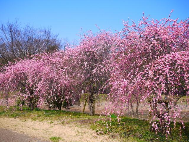 梅見~山田池公園~_b0358575_04475793.jpg