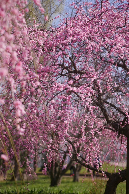 梅見~山田池公園~_b0358575_04563730.jpg