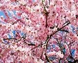 春本番!あなたのお気に入りの桜ショット2019