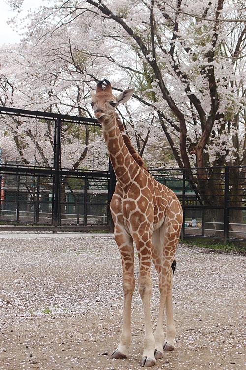 2017.4.16 宇都宮動物園☆キリンと桜【Giraffes in the cherry tree】_f0250322_21302481.jpg