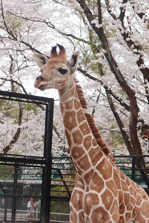 2017.4.16 宇都宮動物園☆キリンと桜【Giraffes in the cherry tree】_f0250322_21302990.jpg