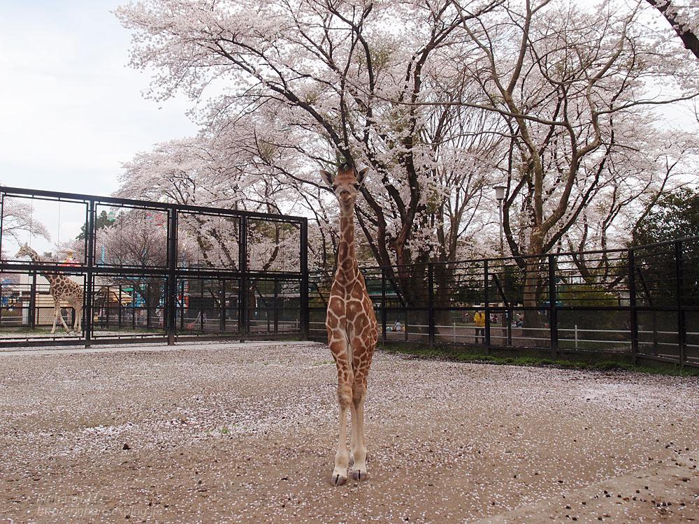 2017.4.16 宇都宮動物園☆キリンと桜【Giraffes in the cherry tree】_f0250322_21303354.jpg