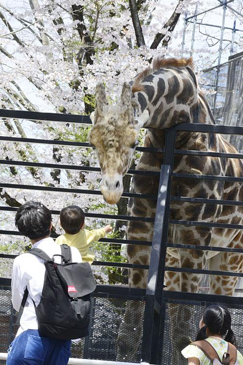 2017.4.16 宇都宮動物園☆キリンと桜【Giraffes in the cherry tree】_f0250322_21303936.jpg